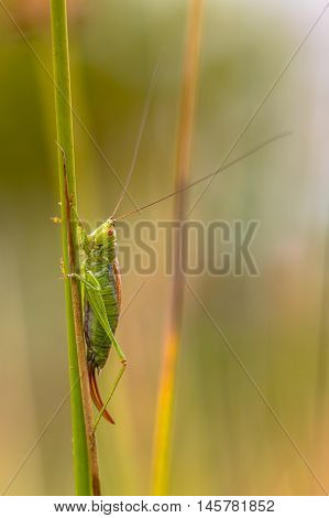 Short Winged Conehead Vertical