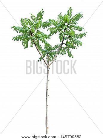 Alone deciduous tree isolated on white background.