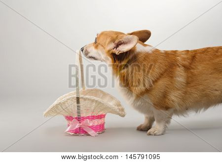 dog on a gray background in the studio shooting welsh corgi pembroke