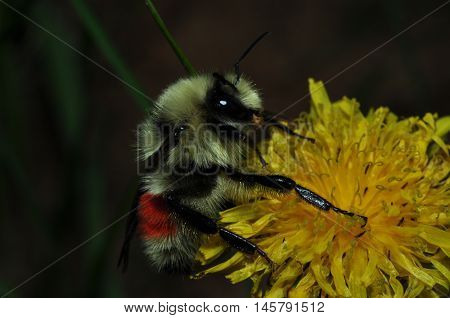 Close up of a bee on a wildflower collecting pollen