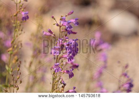 Purple showy penstemon flower Penstemon spectabilis blooms in a wildflower field in Southern California