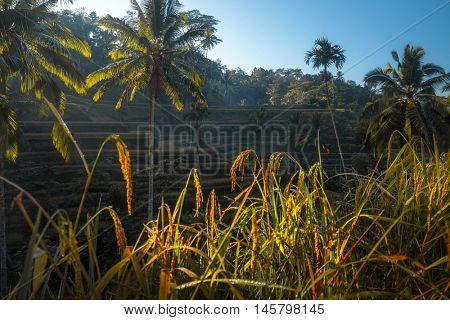 Rice fields near the town of Ubud. Bali, Indonesia