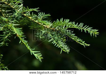 Japanese yew (Taxus cuspidate), also known as the spreading yew.