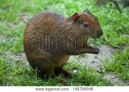 Central American agouti (Dasyprocta punctata). Wildlife animal.