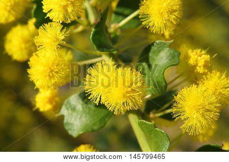 Yellow wattle mimosa acacia flower close up