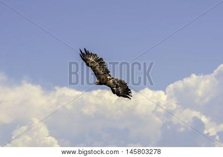 A falcon flying in semi-captivity near haut-koenigsbourg castle, alsace, France