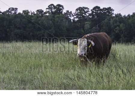 Horned bull covered in a swarm of horn flies walking toward the camera in a field of tall grass
