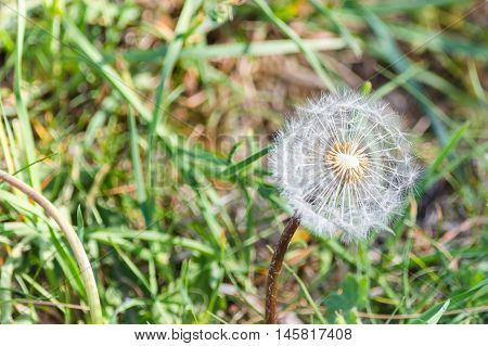 Close up of a dandelion in the meadow with sunlight background.