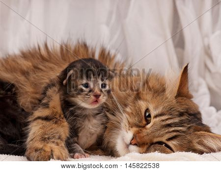 Lovely siberian cat with newborn kitten over white background close-up