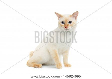 Beautiful Breed Mekong Bobtail Cat with Blue eyes Sitting on Isolated White Background, Color-point Fur