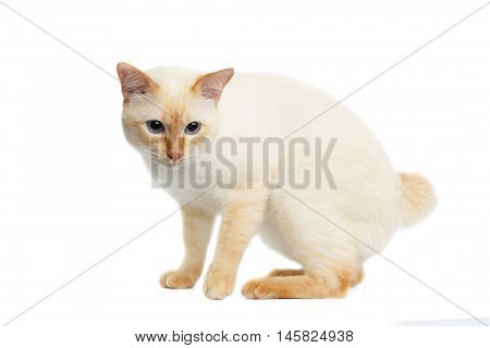 Beautiful Breed Mekong Bobtail Cat with Blue eyes Sitting and Sad Looking, without tail on Isolated White Background, Color-point Fur