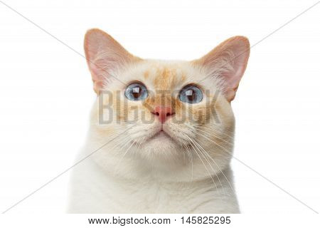 Close-up portrait of Funny Breed Mekong Bobtail Cat Blue eyed, Staring in Camera Isolated White Background, Color-point Fur