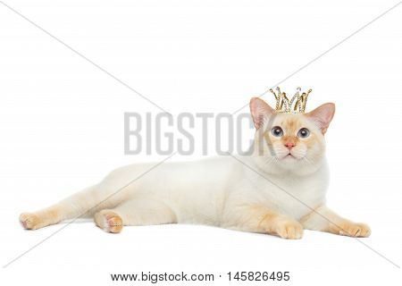 Beautiful Breed Mekong Bobtail Cat Blue eyed, Lying with Crown on Head, Isolated White Background, Color-point Fur