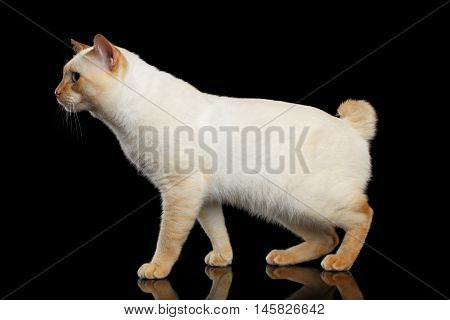 Curious Breed Mekong Bobtail Cat Blue eyed, Standing and sit down, Isolated Black Background, Color-point Fur, without tail, Side view