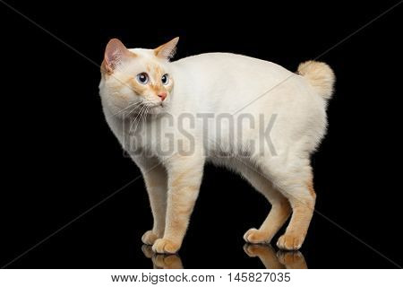 Adorable Breed Mekong Bobtail Cat, Standing and afraid Looks, Isolated Black Background, Color-point Fur, Side view