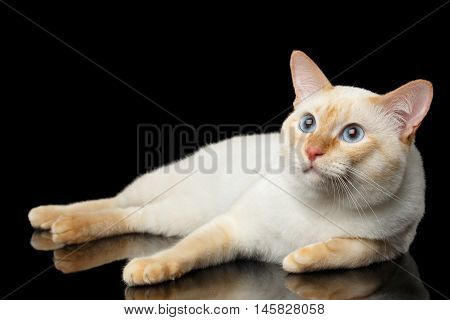 Adorable Breed Mekong Bobtail Cat, Lying and Looking up on Isolated Black Background, Color-point Fur