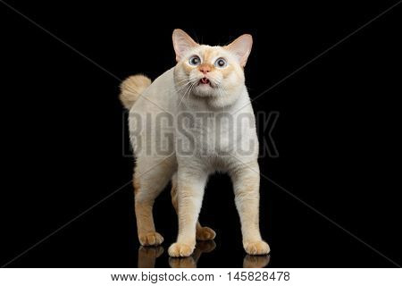 Curious Breed Mekong Bobtail Cat Blue eyed, Standing and Looking up, Licked, Isolated Black Background, Color-point Fur, without tail, asking food