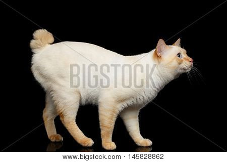 Curious Breed Mekong Bobtail Cat Blue eyed, Funny Standing and Looking up, Isolated Black Background, Color-point Fur, without tail