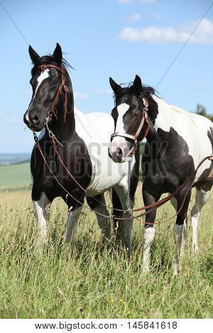 Two Black And White Paint Horses Together