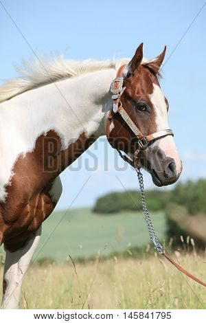 Portrait Of Nice Paint Horse In Summer