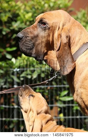 Portrait Of Adult Bloodhound With A Puppy