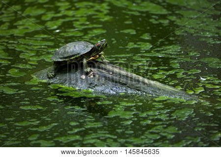 Red-eared slider (Trachemys scripta elegans), also known as the red-eared terrapin. Wildlife animal.
