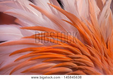 Caribbean flamingo (Phoenicopterus ruber), also known as the American flamingo. Plumage texture.