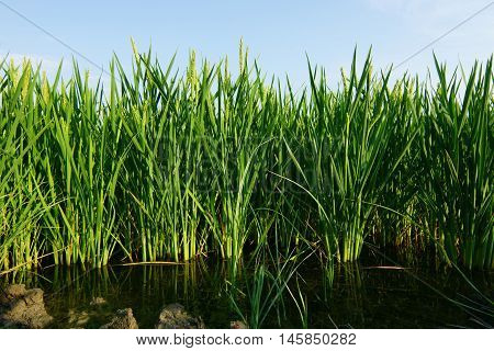 Rice paddy plants on water field plantation