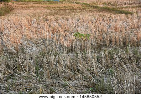 view of the arid cornfield in Thailand