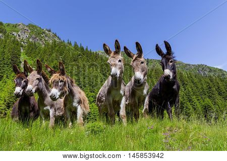 Six curious funny donkeys in Carpathian mountains