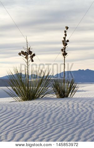 Yucca at White Sands National Monument near Alamogordo New Mexico