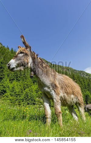 Funny brown donkey on the summer mountain pasture
