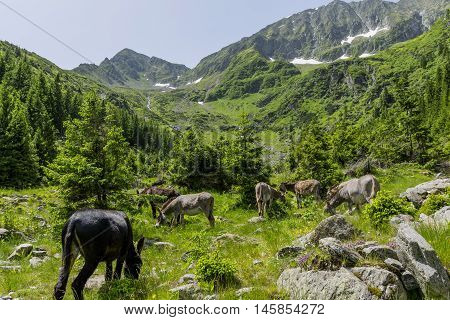 Grey and brown donkeys grazing in the mountains