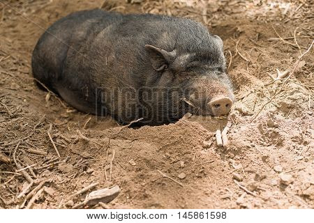 Hog on the farm is lying in the mud and sleeping
