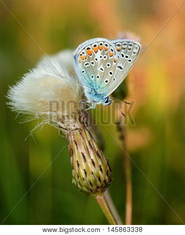 Polyommatus Bellargus, Adonis Blue, Is A Butterfly In The Family Lycaenidae. Beautiful Butterfly Sit