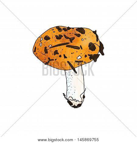 Vector illustration of Russula mushroom on white