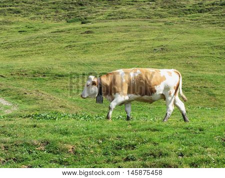 Single cow in an alpine pasture . Sesto Dolomites South Tyrol Italy