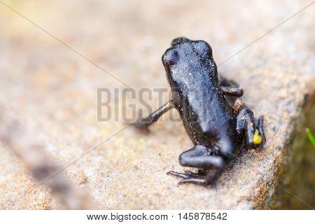 Closeup Small Black Frog