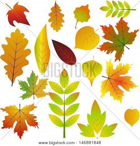 Nature fall yellow leaf autumn leaves seasonal forest symbols. Collection beautiful colorful autumn leaves isolated on white background. Color maple bright season red and orange autumn leaves.