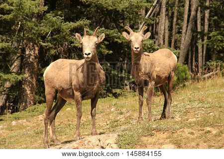 Young Big Horn sheep during summer in the Canadian Rockies.