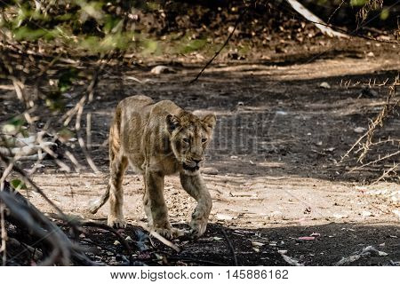 Sub-adult cub of Asiatic Lion at Gir Forest