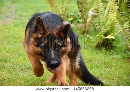 German Shepherd Dog is gaining momentum in the garden.