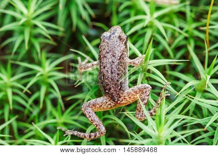 Small Forest Frog On Grass