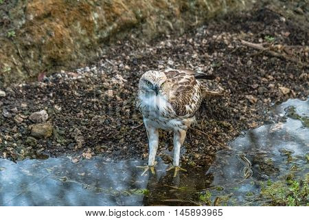 Crested Hawk Eagle after drinking water and quenching thirst