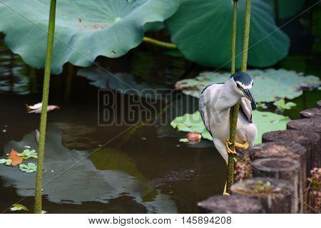 Adult black-crowned night heron balancing on a lotus stem to hunt fish in a pond at Taipei Botanical Garden