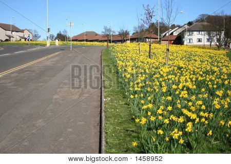 Road Lined With Daffodils