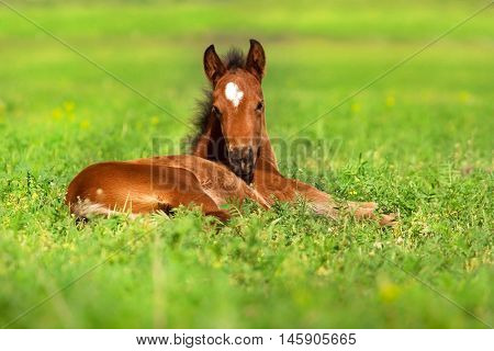Bay beautiful foal rest on spring grass