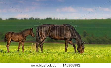 Mare with little cute foal on pasture