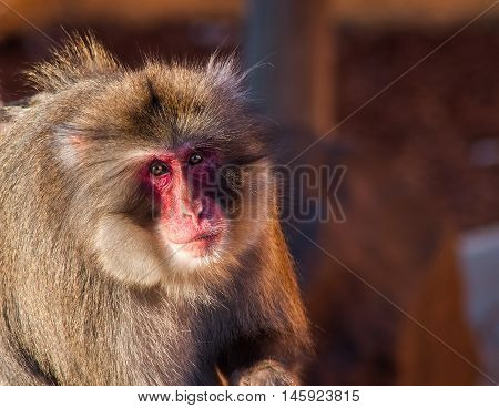 Shaggy male monkey.  A serious and very funny