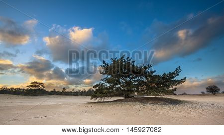 Lonely Pine Tree In Shifting Sands Area